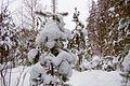 Снежная зима в лесу.jpg