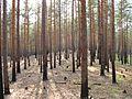 Сухой лес - panoramio.jpg