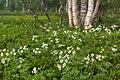Цветущий ветреник пермский в березовой роще.jpg