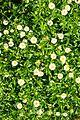 פרחים בישראל (40).JPG