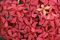 ดอกเข็ม ( Ixora stricta Roxb ) RUBIACEAE (11).jpg