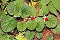 コバノフユイチゴ Rubus pectinellus (Mount Kisokoma).JPG