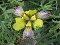 匈牙利鳶尾 Iris variegata 'Gracchus' -維也納高山植物園 Belvedere Alpine Garden, Vienna- (28838977100).jpg