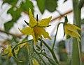 小果番茄 Solanum lycopersicum Mickey -香港漁農美食嘉年華 Hong Kong Farmfest- (9216083326).jpg