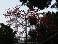 广州市流花路的木棉树.jpg