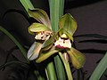 春蘭荷瓣 Cymbidium goeringii 'Lotus' -香港沙田國蘭展 Shatin Orchid Show, Hong Kong- (12317106934).jpg