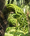 桄榔 Arenga pinnata -香港青衣公園 Tsing Yi Park, Hong Kong- (9219894885).jpg