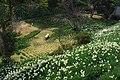水仙の里公園 - panoramio.jpg