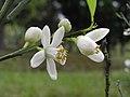 沙柑 Citrus nobilis -香港西貢獅子會自然教育中心 Saikung, Hong Kong- (9229897556).jpg