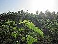 清晨的梧桐树林(东同下) - panoramio.jpg
