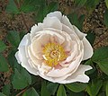 牡丹-薔薇型 Paeonia suffruticosa Rose-series -菏澤曹州牡丹園 Heze, China- (9216100272).jpg