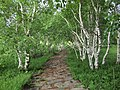 白桦林 - Birch Forest - 2011.06 - panoramio.jpg