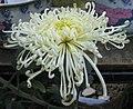 菊花-聖光寶船 Chrysanthemum morifolium 'Treasured Boat' -香港雲泉仙館 Ping Che, Hong Kong- (12064620095).jpg