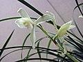 蓮瓣碧龍園素 Cymbidium lianpan 'Green-Dragon-Garden Plain' -香港沙田國蘭展 Shatin Orchid Show, Hong Kong- (12316829033).jpg