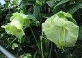 電燈花 Cobaea scandens v alba -新加坡濱海灣花園 Gardens by the Bay, Singapore- (24902394442).jpg