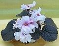 非洲紫羅蘭 Saintpaulia Buckeye My Oh My -香港北區花鳥蟲魚展 North District Flower Show, Hong Kong- (38402099775).jpg