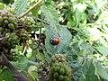 -2018-08-15 Ladybird on Blackberry bush, Church street, Trimingham (2).JPG