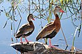 003 - BLACK-BELLIED WHISTLING-DUCK (10-27-2015) estero llano grande s p, hidalgo co, tx -01 (22433393000).jpg