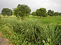 0328jfPulilan Balatong Road Fields Lemon grass Bulacanfvf 14.JPG