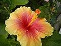 03601jfHibiscus rosa sinensis Philippinesfvf 08.JPG