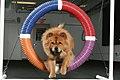 0A Chow Dog Agility.jpg