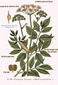 128 Angelica silvestris L.jpg