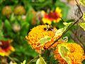 1462573 Bumblebee-and-Marigold 620.jpg