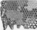 1911 Britannica - Bee - Honeycomb.png