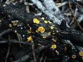 2008-07-24 Lachnellula suecica (de Bary ex Fuckel) Nannf 41353.jpg