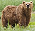 2010-kodiak-bear-1 (cropped).jpg