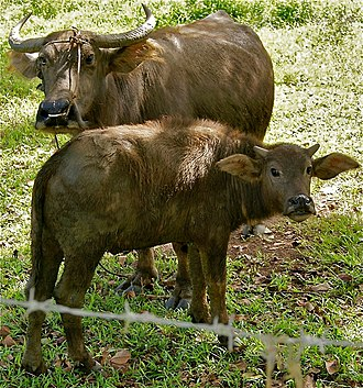 Carabao - Caraballa and calf in the Philippines