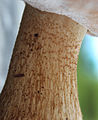 2012-06-09 Tylopilus felleus (Bull.) P. Karst 226777.jpg