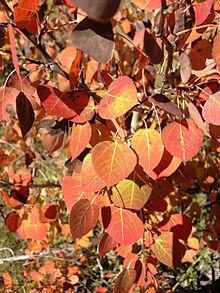 Quaking aspen populus tremuloides details encyclopedia of life atypical orange and red autumn foliage publicscrutiny Images