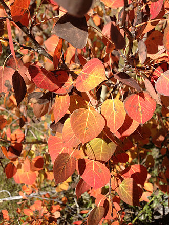 Populus tremuloides - Atypical orange and red autumn foliage