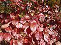 2014-11-02 12 33 36 Arrowwood foliage during autumn along Broad Avenue in Ewing, New Jersey.JPG