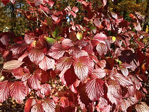 Viburnum dentatum - Leaves in autumn