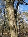 20140320Carpinus betulus02.jpg