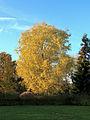 20141105162119!Witte esdoorn (Acer saccharinum). Locatie, Hortus (Haren, Groningen) 01-Derivate Hubertl.jpg