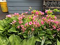 2015-05-18 12 56 35 'Rosebud' Azalea blooming along Terrace Boulevard in Ewing, New Jersey.jpg