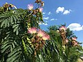 2015-07-31 15 10 47 Mimosa flowers along Old Ox Road (Virginia State Secondary Route 606) in Sterling, Virginia.jpg