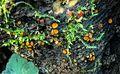 2015-11-21 Scutellinia subhirtella Svrček 578130.jpg