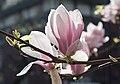 2015 Kwiaty magnolii pośredniej.jpg