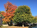 2017-11-10 15 06 45 Red Maple and Linden during late autumn along Kinross Circle near Ravenscraig Court in the Chantilly Highlands section of Oak Hill, Fairfax County, Virginia.jpg