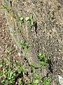 20170522Arenaria serpyllifolia2.jpg