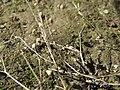 20170814Arenaria serpyllifolia2.jpg