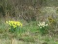 2018-04-17 Daffodils, (Narcissus), Sheringham common, Norfolk (3).JPG