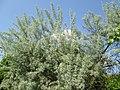 20180504Elaeagnus angustifolia1.jpg