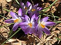 2019-03-11 15 19 21 Naturalized purple crocuses in a lawn along Terrace Boulevard near Dunmore Avenue in the Parkway Village section of Ewing, Mercer County, New Jersey.jpg