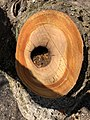 2019-04-03 15 24 50 A freshly cut cherry branch showing sapwood, heartwood and a rotted core along Lady Bank Lane in the Chantilly Highlands section of Oak Hill, Fairfax County, Virginia.jpg