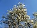 20190320 Prunus cerasifera 06.jpg